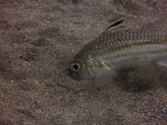 Goatfish, Agujero Azul (yayapapaya77) Tags: spain sand underwater kanaren lanzarote diving atlantic canaryislands spanien atlantik tauchen unterwasser goatfish kanarischeinseln puertodelcarmen playachica meerbarbe agujeroazul canonpowershotg15