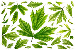 salmonberry leaves (rainbow wasabi) Tags: portrait green nature beautiful leaves oregon coast leaf spring pacific northwest style attractive salmonberry saveearth
