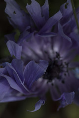 Let Me Caress You - Anemone May 2016 (GOR44Photographic@Gmail.com) Tags: flower macro canon petals purple 100mm anemone 100mmf28 canon100mm 60d gor44