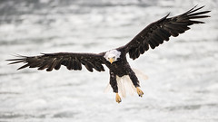 Skinny Legs and All... (Jeff Dyck) Tags: birds alaska bc eagle britishcolumbia baldeagle bald landing stewart hyder haliaeetusleucocephalus birdinflight fishcreek jeffdyck