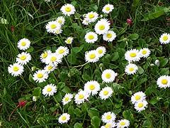 Cheerful (Martha-Ann48) Tags: flowers plants white green grass yellow daisies garden petals blossoms lawn stamens daisy blooms dayseye