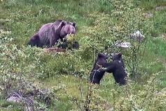 Nationalpark: Jungbren rangeln (waidlerwiki) Tags: animal germany bavaria bears braunbr brownbear ursusarctos bayerischerwald bayerwald nationalparkbayerischerwald bavarianforestnationalpark jungbren