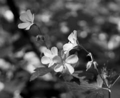 Wild phlox in mono (pilechko) Tags: flowers light blackandwhite monochrome bokeh pennsylvania newhope phlox bowmanshill