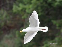 IMG_5591 (mariajensenphotography) Tags: ocean sea seagulls nature birds animals island spring wildlife salt