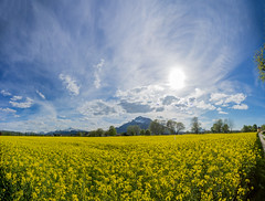 P4300227 (Baffalowz) Tags: flowers salzburg field austria spring europe olympus rapeseed em1 2016 at