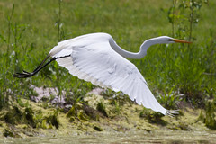 great egret 5-15-2016-34 (Scott Alan McClurg) Tags: life wild sun white bird nature animal fly flying back spring pond backyard flickr glow wildlife flight neighborhood landing ardea wetlands land algae gliding greategret naturephotography glide ardeidae aalba