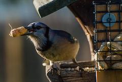 Bluejay (BHurley59) Tags: blue bird wildlife birdfeeder peanuts bluejay