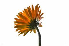 Gerbera Daisy Back (Terry L Richmond) Tags: lighting flowers light orange white flower yellow backlight back petals stem richmond petal gerbera daisy behind depth canon1740 canon6d