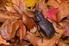 Calosoma semilaeve - Damian Malicki (P. Colman) Tags: paper insect origami beetle carabid sd1merrill