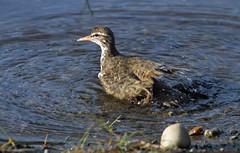 Spotted Sandpiper - IMG_6993a1c (Sue Coastal Observer) Tags: bc britishcolumbia surrey bathing shorebird spottedsandpiper actitismacularius spsa latimerpond