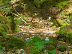 Forest Floor At Mt Philo State Park (amyboemig) Tags: park flowers wild flower forest moss vermont mt floor state ground mount wildflower vt philo trilliums mountphilo