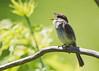 Eastern Phoebe_53F4826 (~ Michaela Sagatova ~) Tags: easternphoebe flycatcher michaelasagatova