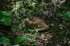Let sleeping deer lie (mperez171) Tags: whitetailed deer odocoileus virginianus fawn