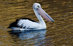 Australian Pelican (phillipdumoulin) Tags: pelican australianpelican nsw lakemacquarie sea seawater calmwater water bird nativebird coldteacanal belmont newcastle