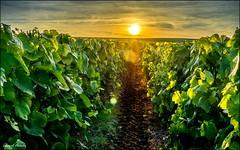Champagne! (Laurent Asselin) Tags: champagne vignes vignoble soleil crpuscule sunset paysage