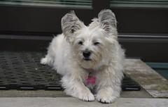 Queen Tut (Dotsy McCurly) Tags: queen tut ruffy cute dog cairnterrier nikon d750 dof nj yard stoop