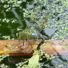 Emperor dragonfly - Anax imperator laying eggs (Photospool) Tags: summer nature reeds insect pond dragonfly eggs emperor laying odonata imperator anax
