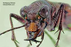 Cicindela hybrida (Wolfgang Dibiasi) Tags: cicindela hybrida tiger beetle laufkfer carabidae europe europa wolfgang dibiasi insekten makrofotografie