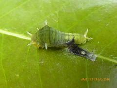P1490154 (Nagdarshan) Tags: molting caterpillar