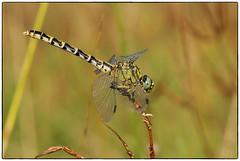 Dragonfly (The Ramandolo Man) Tags: macro natura nature fujifilm s5pro 105mm nikkor105mmf28gvrmicro nikkor nikon summer libellula dragonfly
