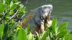 Florida: Iguana, Islamorada (Florida Key's)