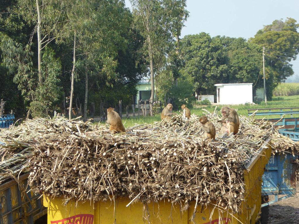 Monkey enjoying Sugar cane