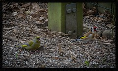 Greenfinch and goldfinch (frankmh) Tags: birds march skne sweden goldfinch finches greenfinch scania hittarp