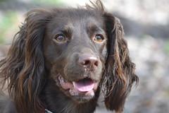 Cocker Spaniel (heathernewman) Tags: portrait dog spaniel cockerspaniel