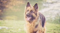 Isis (Regard Canin) Tags: dog chien isis allemand berger