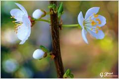 PETALES ET COULEURS (Gilles Poyet photographies) Tags: nature fleurs printemps soe auvergne beaumont puydedme autofocus aplusphoto artofimages rememberthatmomentlevel1