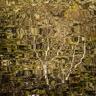 Silver Birch Reflections