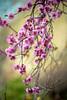 brilliantly pink blossoms (Sam Scholes) Tags: pink flowers flower nature garden utah spring unitedstates blossoms saltlakecity springflowers floweringplum redbuttegarden rosefamily blireanaplum prenusxblireana