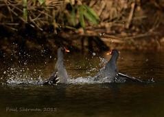 Looks like trouble (muppet1970) Tags: water wildlife fighting waterfowl splashing moorhen holywellspark