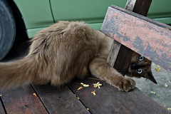Peek-a-Boo (N808PV) Tags: brown look animal cat eyes peekaboo planet stray rx100