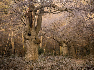Frosty Burnham Beeches