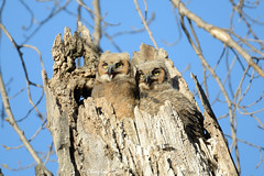 Great Horned Owls, Lone Tree, Iowa [7108] (cl.lin) Tags: nature nikon midwest wildlife birding iowa owl owls lonetree greathornedowl owlet greathornedowls owlets