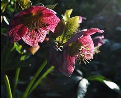 Spring Helleborus (littlestschnauzer) Tags: uk flowers light two plants sunlight plant nature garden march early petals spring pretty purple natural yorkshire flowering hellebore lit blooms perennial hardy helleborus 2015