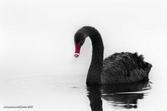 black swan (fabrizio daminelli ) Tags: bird nature animal fauna canon sigma natura blackswan animale cygnusatratus avifauna uccello anatidae cigno cignonero fabriziodaminelli