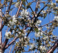 Spring Blossoms (Daryll90ca) Tags: flowers tree whiteflower blossom blossoms floweringtree