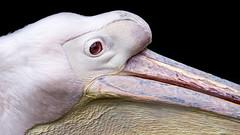 L'oeil rouge du plican blanc. (virginiefort) Tags: white france bird eye nikon lot sigma oeil blanc oiseau pelecanusonocrotalus gramat plican 15028 parcanimalier