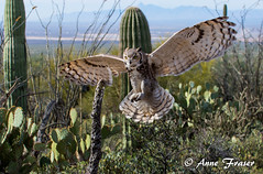Coming in for a landing... (Anne Marie Fraser) Tags: arizona cactus museum sonora desert great owl horned