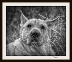 High Daiko Resolution (patrick.verstappen) Tags: bw dog pet animal garden photo yahoo google nikon flickr pat hdr facebook picassa daiko gingelom d5100 pinterest