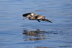 Pelicano 2 (pniselba) Tags: ocean sea bird beach mar costarica playa pelican ave pajaro pacifico oceano guanacaste pelicano pelecanus playapanama golfopapagayo