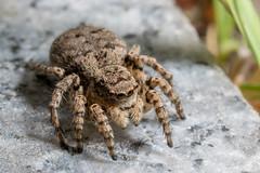 Jumping spider (Yunhyok Choi) Tags: macro closeup asahi pentax kr k3  macrophotograph  pentaxk3 smcpentaxfamacro50mmf28