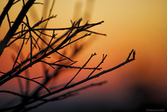 Branchlets.... (Joe Hengel) Tags: california park ca sunset red orange beach silhouette san branch state outdoor branches silhouettes socal southerncalifornia orangecounty oc sanclemente goldenhour clemente goldenstate branchlets