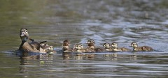 Woodies and Hoodies (Jeannine St. Amour) Tags: nature duck wildlife woodduck juveniles