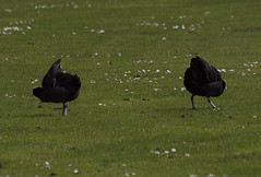 2016_05_0151 (petermit2) Tags: abbey nt yorkshire fountains fountainsabbey nationaltrust coot northyorkshire studleyroyal studleypark riponstudleyroyalpark