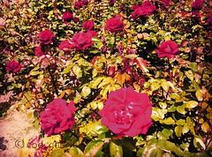 Roses in Balchik botanical garden, Bulgaria (cod_gabriel) Tags: roses rose garden bulgaria jardimbotnico botanicalgarden hortusbotanicus hefe redroses jardnbotnico balchik  ortobotanico botanischergarten dobrudja balcic  balcsik dobrogea gradinabotanica ogrdbotaniczny   cadrilater botanisktrdgrd botanikbahesi dobruja  balik balchikbotanicalgarden trandafirrou trandafiriroii  instagram grdinbotanic  squareinstapic baczik baltsjik  kebunbotani baltik