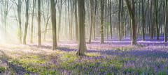 Illuminati (Jerry Fryer) Tags: misty bluebells dawn sunrays crepuscularrays 6d bluebellwoods
