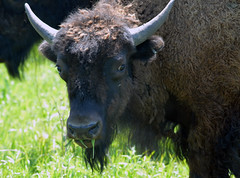 This young bison is eating his fill of grass (U.S. Fish and Wildlife Service - Midwest Region) Tags: bison nealsmith nwr nwrs iowa ia usfishandwildlifeservice refuge nationalwildliferefuge spring 2016 may animals wildlife nature